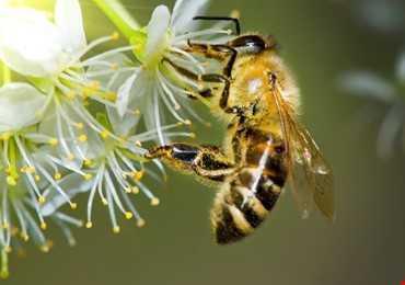 Thế Giới Như Thế Nào Nếu Thiếu Những Chú Ong